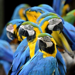 Many of Blue and Gold Macaw perching together with very warm moment