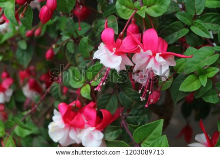 Many of Vibrant Pink and White Fuchsia Hybrida Flowers Blooming Among Green Leaves, Cusco, Peru, South America #1203089713