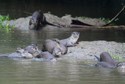 Many otters on the rock in the river at Khao Yai National Park, Thailand