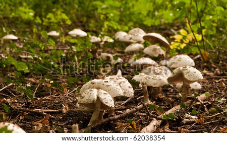 Many parasol mushrooms growing in group in the forest - stock photo
