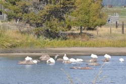 many pelicans and a blue heron bathing in a river or perched on rocks in the water