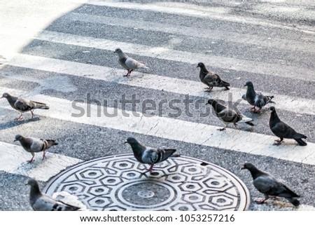 Many pigeon birds flock flying in Midtown Manhattan New York City NYC urban street road, crosswalk, crossing closeup