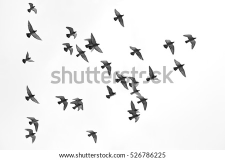 Many pigeons birds flying in the sky. Black and white #526786225