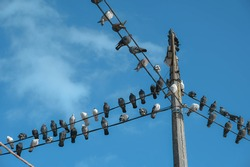 Many pigeons chilling on the high-rise electric wire on the background of the cold blue sky.
