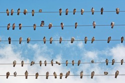 many pigeons placed on wires of the electricity grid