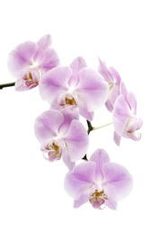 Many pink and white flowers of a  Phalaenopsis orchid hybrid isolated against a white background vertical