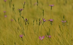 Many pink flowers on a grain field.The common corn-cockles (Agrostemma githago) is a herbaceous annual flowering plant. Native in Europe, and present in many parts of the world as an alien species.