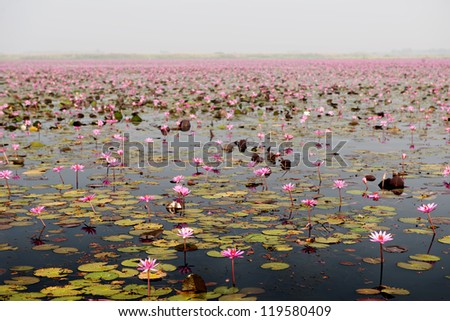 many pink lotus in big lake