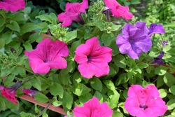 Many pink petunia flowers. Blooming surfinia. Home decorative flowers.
