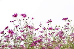 many pink (purple) cosmoses on a white background