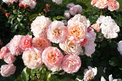 Many pink roses in garden