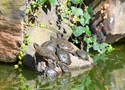 Many Pond Slider Turtles sunning on a rock in murky pond water, tall rocks piled behind with green ivy plants growing on them.