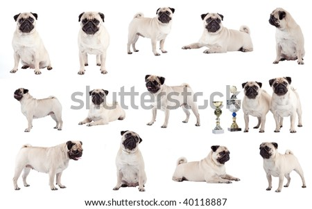 Many Pugs, sitting, standing and lying in front of white background, studio shot.
