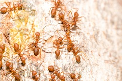 Many red ants were fighting fierce to protect the territory in the top view. Small insects in the tropical jungle that gather to hunt for prey