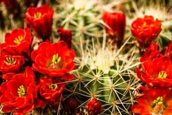 Many red blooms on top of barrel cactus