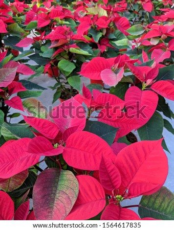 many red poinsettias in pots. selling of xmas flower or plant for christmas decor