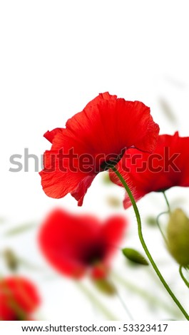 many red poppies isolated on a white background angle of a page