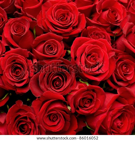 many red roses shot in shallow DOF