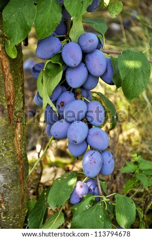 Many ripe plums hanging on a branch