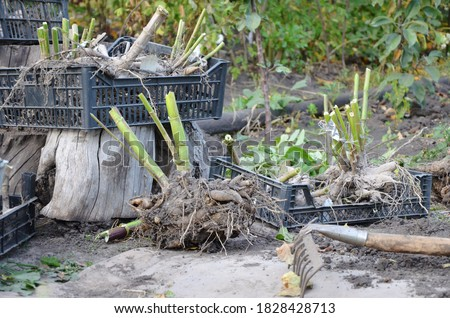 Many roots of dahlias without land. There are old rakes on the ground. Digging up Dahlia flowers. The tubers are in black plastic boxes. The planting material is dried in the sun and removed. Foto stock ©