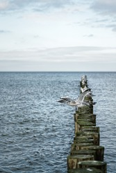 Many sea birds sit on a row of groynes that lead the view towards the sea. A gull (Chroicocephalus ridibundus) is just starting its flight - Location: Poland, Baltic Sea