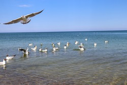 Many seagull birds swim in the blue Baltic sea. Seagull taking off over the sea.