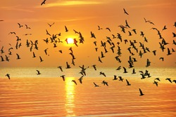 many seagull flying at sunset