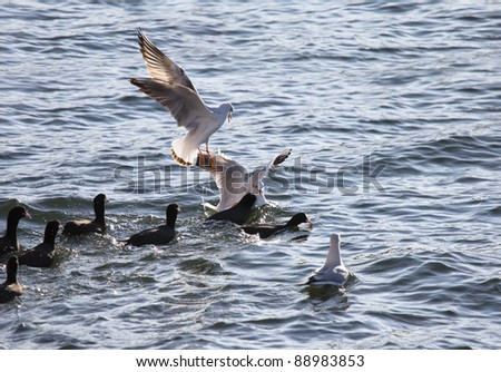 many seagulls attack flock of pochards