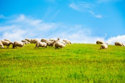 Many sheep in the field grazing with clean blue sky on background
