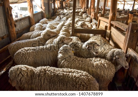 Many sheep waiting in shearing shed to be shorn. Packed in. Chowilla, South Australia