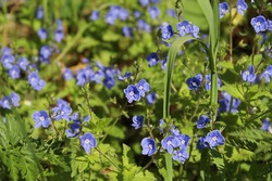 many small blue  flowers among green grass lit by sun on a summer meadow