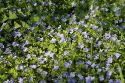 many small blue veronica flowers on a green grass lit by sun