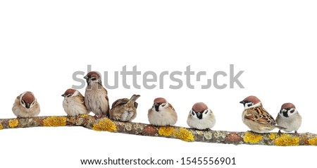 many small funny birds sparrows are sitting on a branch on a white isolated background stock photo