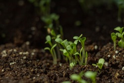 many small lettuce sprouts grow in the ground. home greenhouse
