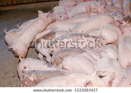 Many small piglets on farms in rural areas fed with organic farming. Pigs in the enclosure are mammals. Top view