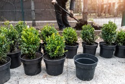 Many small plastic pots with fresh evergreen buxus boxwood bushes prepared for planting at ornamental garden along house path. Seasonal plant transplantation. Gardener with shovel dig soil background