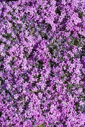 Many small purple flowers, top view for background