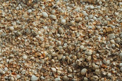 Many small shells on the beach. White broken seashells on the beach.