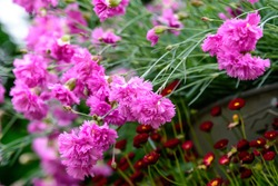 Many small vivid pink flowers of Dianthus carthusianorum plant, commonly known as Carthusian pink in a British cottage style garden in a sunny summer day, beautiful outdoor floral background
