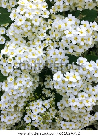 Many small white flowers on a bush ez canvas many small white flowers on a bush mightylinksfo