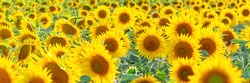 Many sunflower flowers are in full bloom. The field is sown with oilseeds - sunflower.