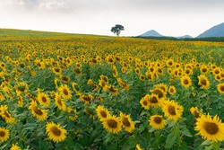 Many sunflowers planted in the hills.