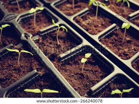 many tomato seedlings growing in black pot