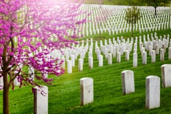 Many tombs in rows, graves on military Arlington cemetery and blooming spring cherry tree with flowers