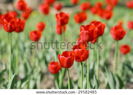 Many tulips in the garden