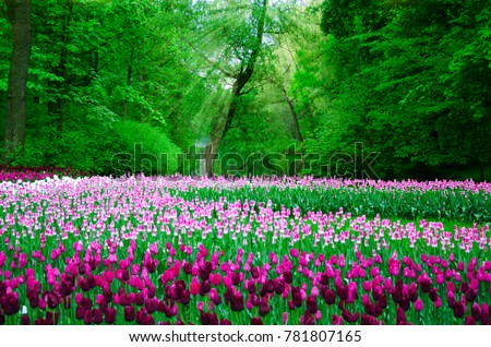 many tulips planted in the old Park on a background of forest and solar rays #781807165
