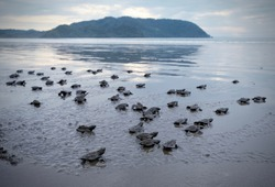 Many turtle hatchlings making their way to the ocean in Costa Rica.