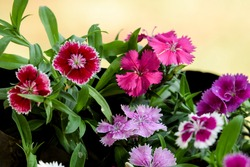 Many types of Colorful variety of Dianthus flowers.Beautiful collection of colorful multicoloured blooming Dianthus flowering plants in container gardening. Flower bed of Dark light pink purple white