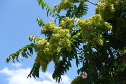 Many unripe seeds in the leafage of Ailanthus altissima against blue sky in July