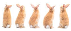 Many variety action of orange-brown cute baby rabbit standing, backside isolated on white background. Lovely five action of young rabbits.